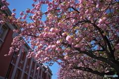 サトザクラ6 〜 赤煉瓦と八重の桜