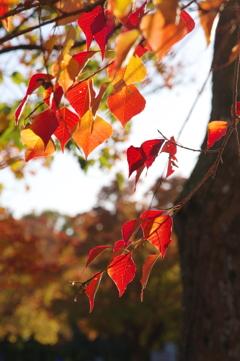 小幡緑地の紅葉5