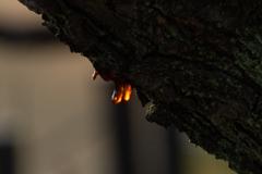 樹液の輝き