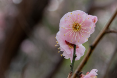 桃色の梅1