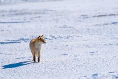 雪原とキツネ