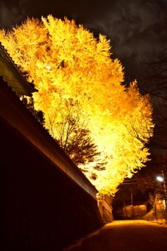 浄善寺の大銀杏