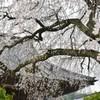 福泉寺の枝垂桜