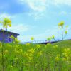 菜の花の咲く丘