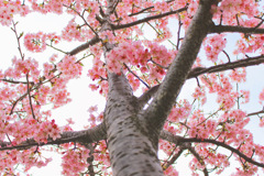見上げた桜