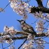 桜とたわむれる鳥 その2