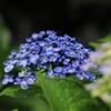 向こうの紫陽花