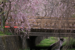 橋にかかるしだれ桜