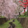水路沿いのしだれ桜