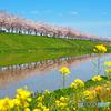 逆さ桜と菜の花