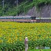 ひまわり畑と列車①