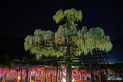 大町藤公園④