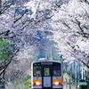 因美線の桜①