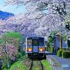 因美線の桜②