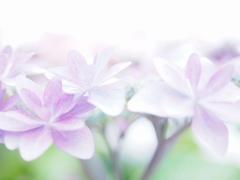 雨を待つ、紫陽花