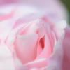 Pink peek