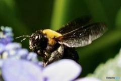 クマバチ(クマンバチ)+紫陽花と一緒に!