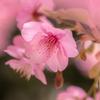 春色に染まる 桜 #4