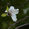 春の木霊を聞く こぶし