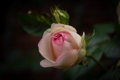 ゲーテ座跡に咲く薔薇 02