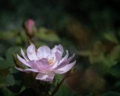 6月の薔薇 #2