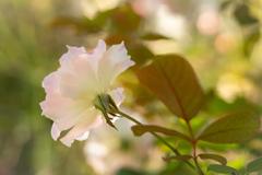 Autumn garden #3 マチルダ