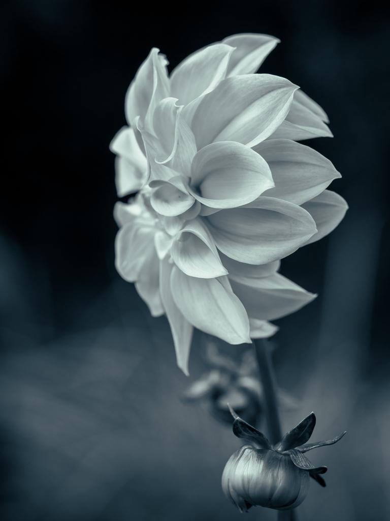 花の肖像 ダリア #1