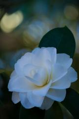 純白 八重白椿