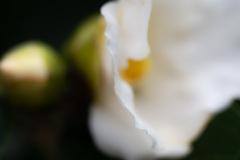花びらの縁 侘助