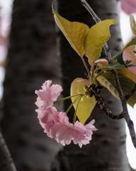 今が満開 里桜