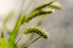 雑草の詩 #49 エノコログサ