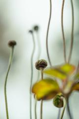 秋明菊の実 #2