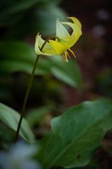 うつむき加減 黄花カタクリ