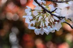 光の饗宴 桜
