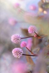 雑草の詩 20 ヒメツルソバ