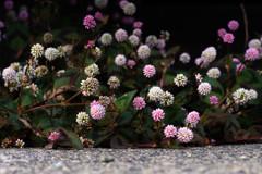 雑草の詩 18 ヒメツルソバ