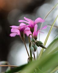 カタバミの春 #2