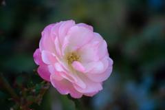 一月の薔薇 #4