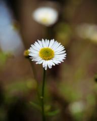 雑草の詩 #50 ペラペラヨメナ