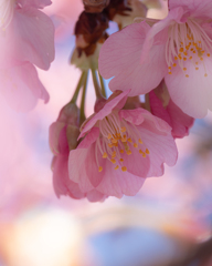 河津桜 #4