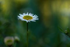 雑草の詩 #52 ペラペラヨメナ