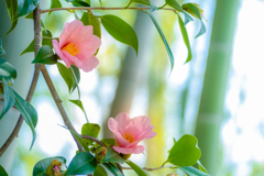 竹林に咲く 椿