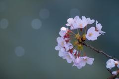 河面に咲く 花車