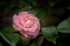 八重に咲く乙女椿