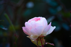 一月の薔薇 #2