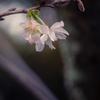ひっそりと 十月桜