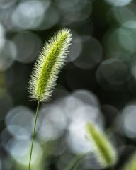 ●雑草の詩 #47 エノコログサ