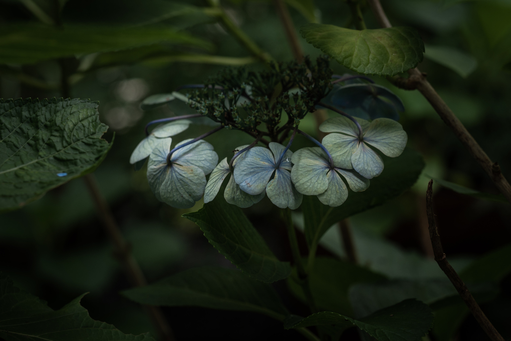 しおれの美 紫陽花 #2