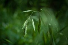 雑草の詩 #46 イヌ麦
