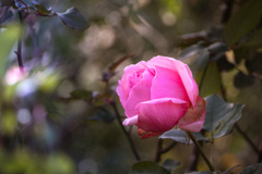 一月の薔薇 #3